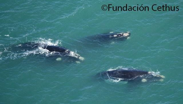 Conservación y estudio de la Ballena Franca Austral en Miramar